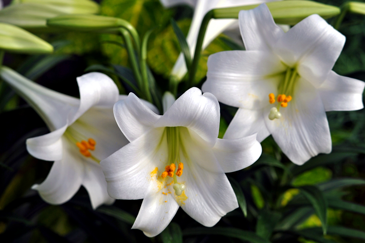 How to care for your potted Easter Lily