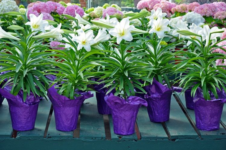 How to Care For Your Potted Easter Lilly