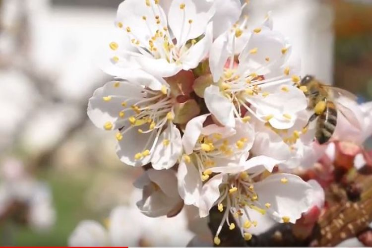 Stemilt Growers features WA Cherry Blossoms